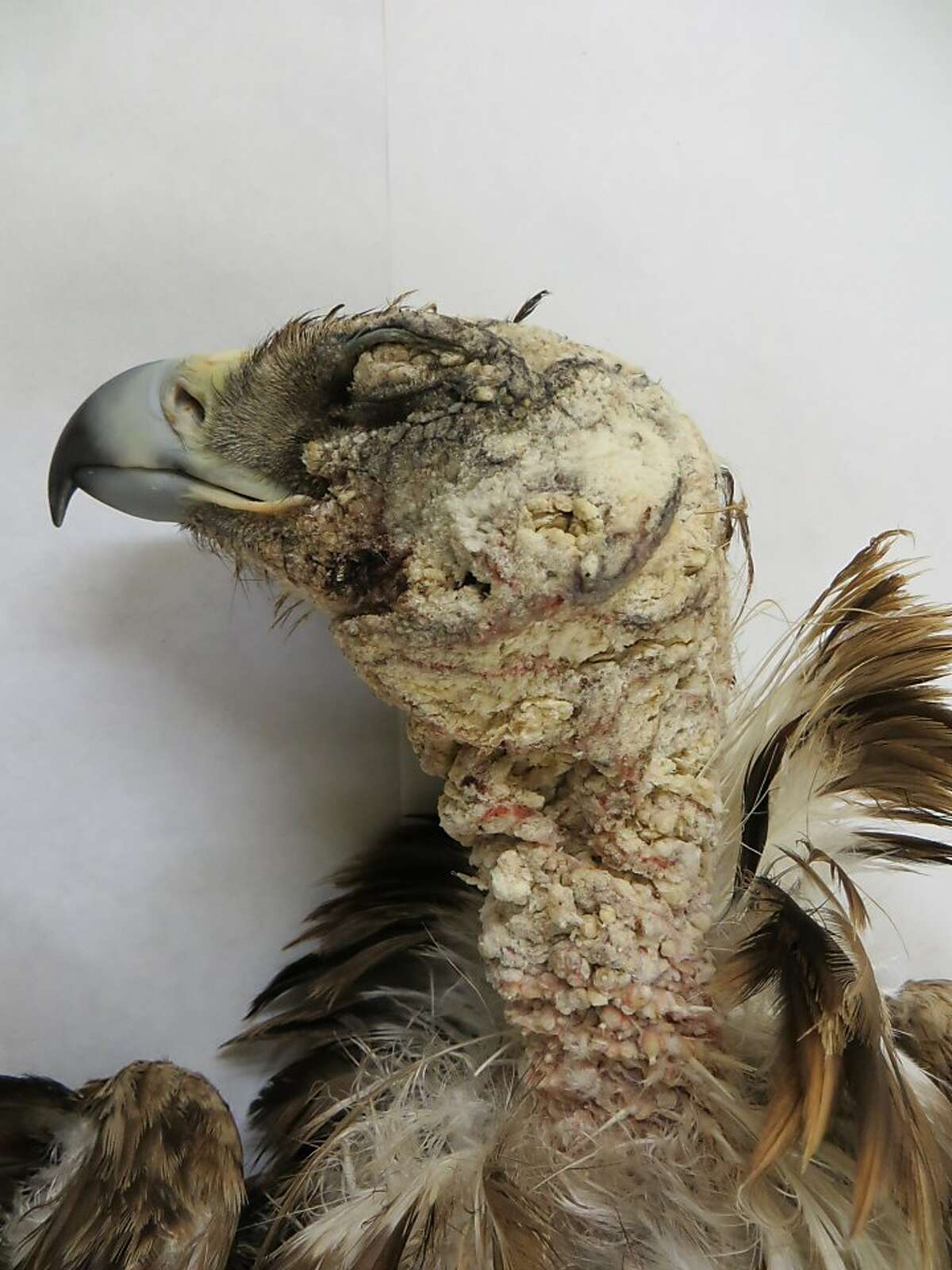 An golden eagle with mange caused by the mysterious mites.