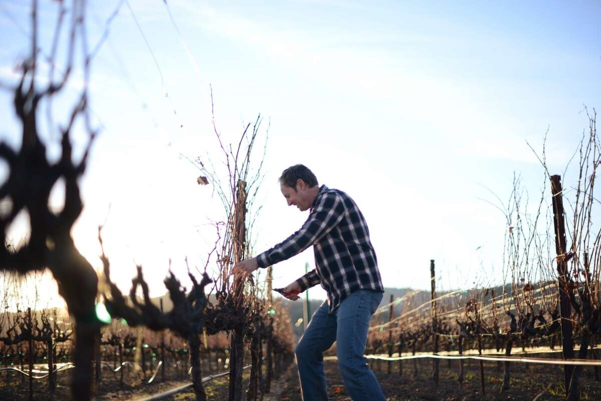 Steve Matthiasson pruning Chardonnay vines at Linda Vista Vineyard located at his home in Napa.