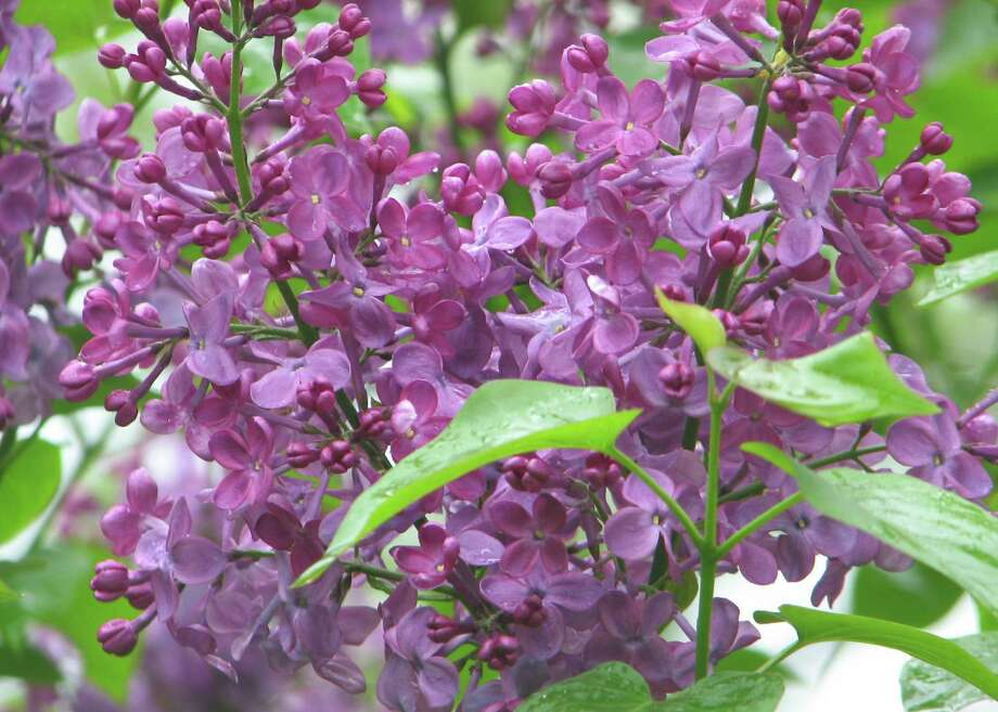 If you'd like to showcase some purple hues in your garden, consider fragrant  lilacs. Photo: Contributed Photo/Colleen Plimpt, Contributed Photo / The News-Times Contributed