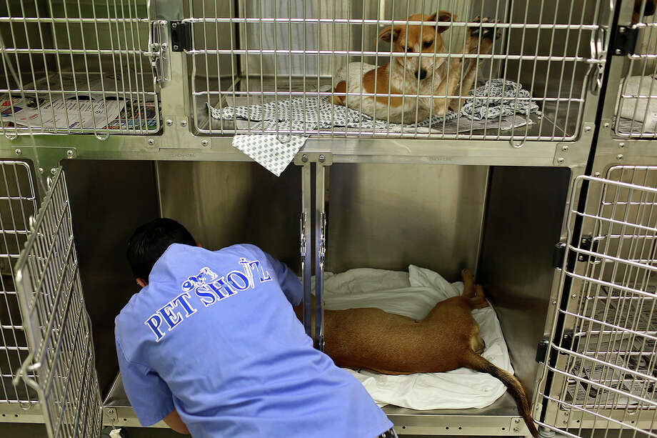 Volunteer Chealsey Johansen gets Lucy comfortable as she recovers from spaying surgery at the San Antonio Pets Alive! adoption center in San Antonio on Nov. 8, 2013. Photo: Lisa Krantz, San Antonio Express-News / San Antonio Express-News
