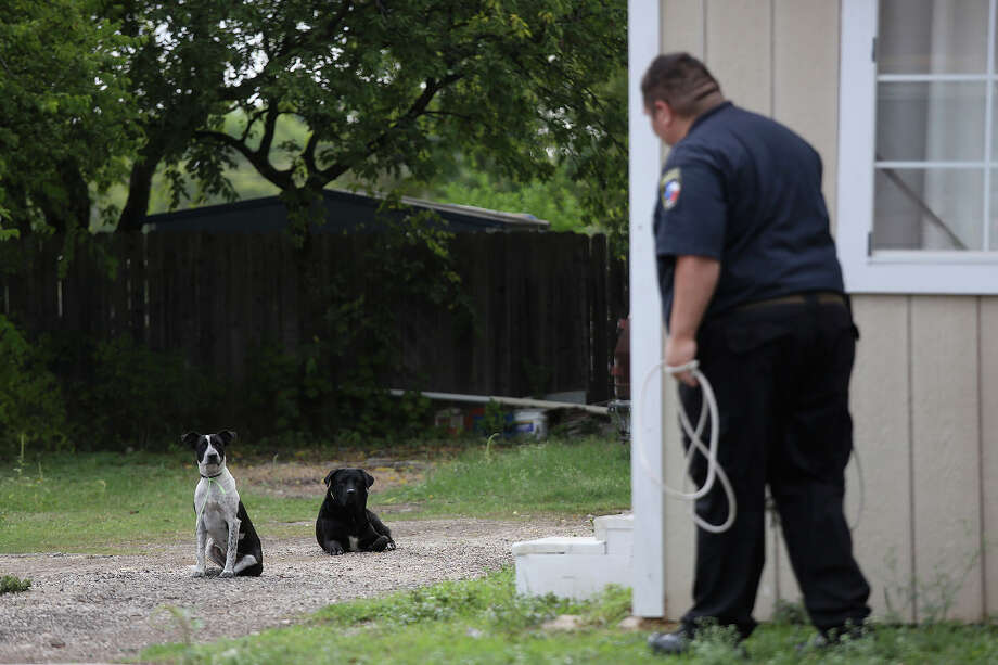 Animal Care Services officer Joe Cortez tries to catch more strays in a neighborhood where residents called in a complaint of strays in southwest San Antonio on October 30, 2013. Photo: Lisa Krantz, San Antonio Express-News / San Antonio Express-News
