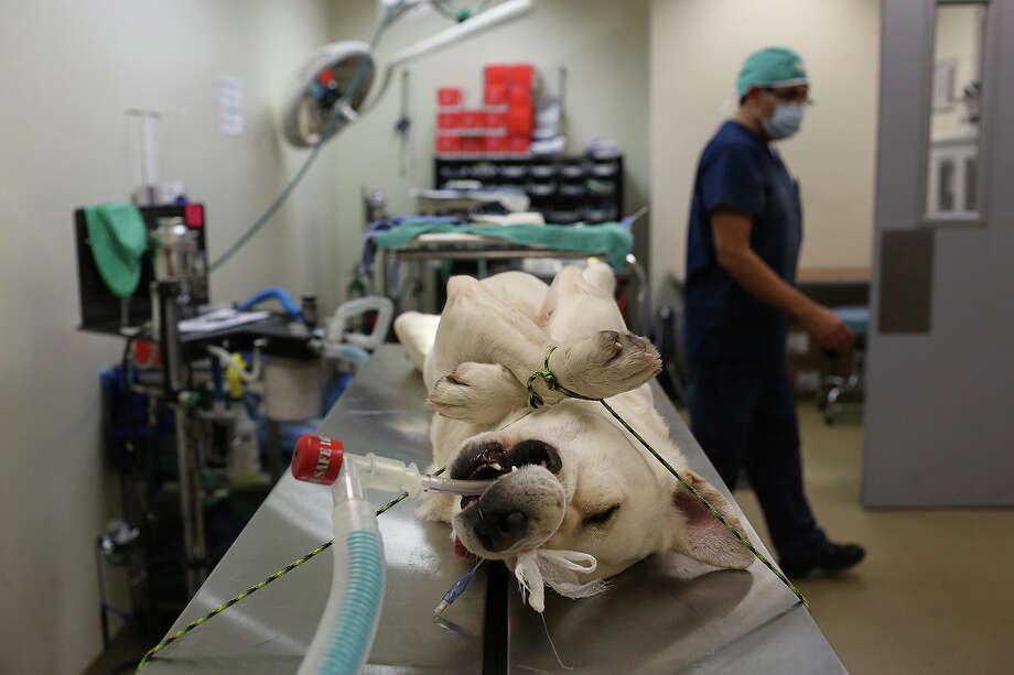 Chuck, now named Duke, waits to get neutered at Animal Care Services in San Antonio on Nov. 8, 2013. Photo: Lisa Krantz, San Antonio Express-News / San Antonio Express-News