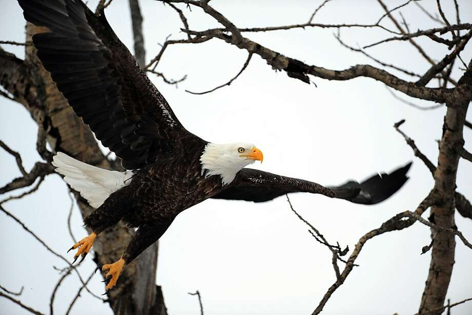 Lunchtime!As majestic as the bald eagle is, it is still a scavenger. America's symbol swooped out of the trees west of Pierz,   Minn., to feed on piles of chicken manure. Photo: Steve Kohls, Associated Press