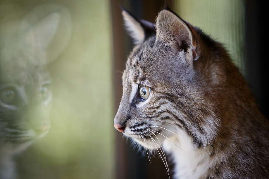 The cat in the glass:A 17-week-old bobcat cub named Sierra catches a glimpse of her reflection at the Houston Zoo. Photo: Michael Paulsen, Houston Chronicle