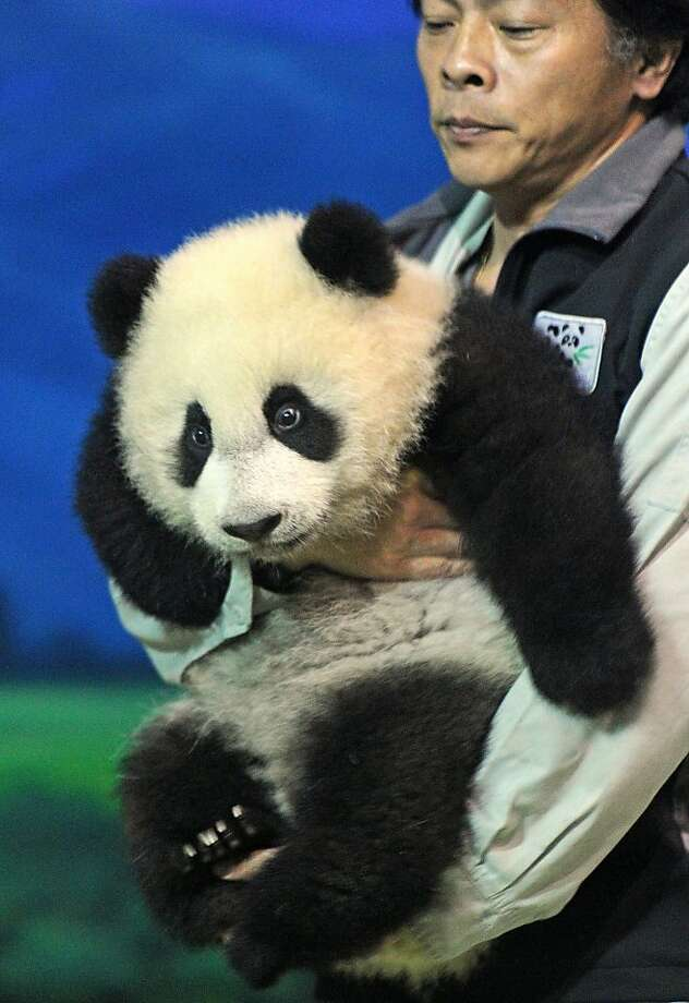 Successful Heimlich Maneuver? Or is Yuan Zai is getting too big for one person to carry at the Taipai Zoo? Photo: Sam Yeh, AFP/Getty Images