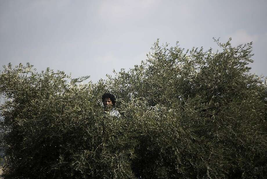 Migrants rally in Israel:An African migrant climbs an olive tree during a protest in Tel Aviv. About 10,000 migrants marched through the city for a second day to protest the detention of asylum seekers under the anti-infiltration amendment. The Africans were also demonstrating against what they say is the refusal by Israel to examine their asylum claims. Photo: Ariel Schalit, Associated Press