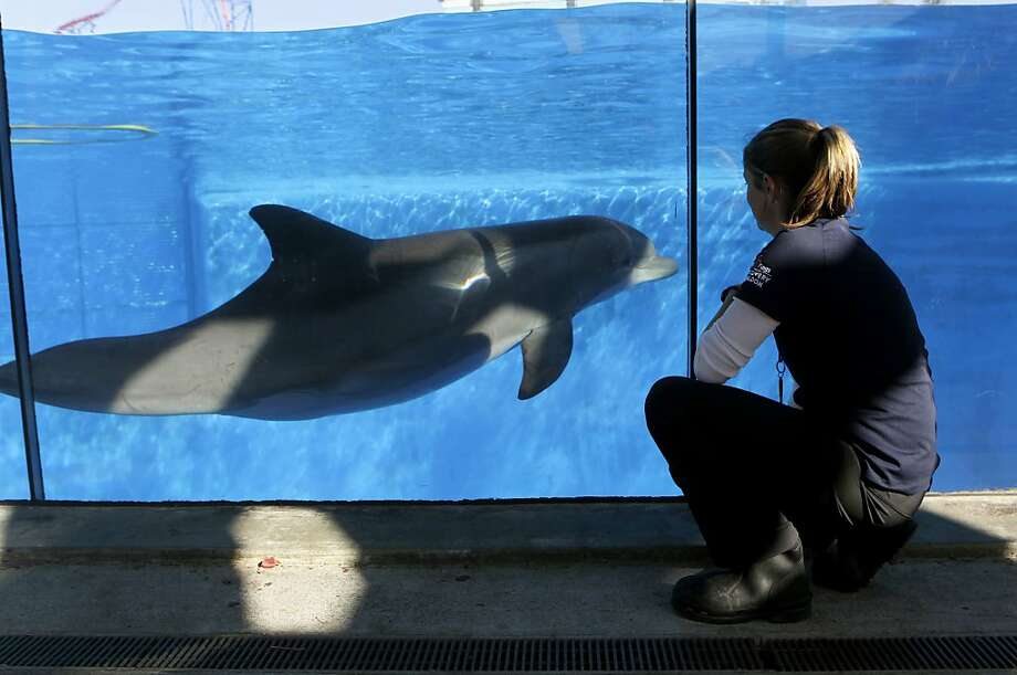 Bella is under the close observation of Sara Wielandt as her due date nears at Six Flags Discovery Kingdom in Vallejo. Photo: Paul Chinn, The Chronicle
