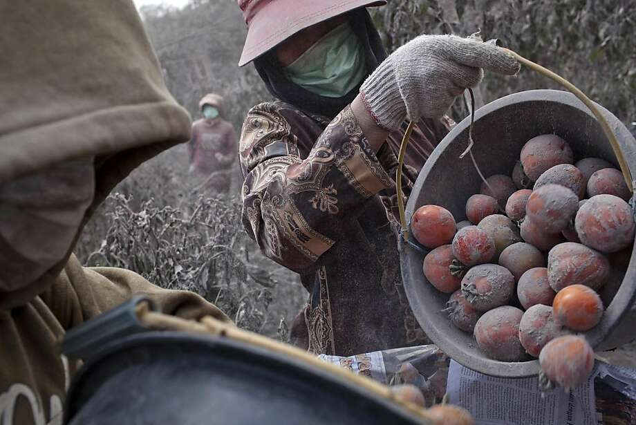 Red, ripe and dusty:Villagers harvest tomatoes covered with volcanic ash after the latest eruption of Mount Sinabung in North Sumatra,   Indonesia. Some 20,000 people have fled their homes in the wake of eruptions that have left 11 dead and hundreds   ill. Photo: Ulet Ifansasti, Getty Images