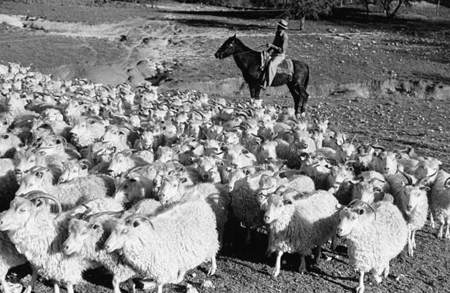 A rancher herds Texas angoras on the Hellingdon ranch.  (Photo by Carl Mydans//Time Life Pictures/Getty Images) Photo: Carl Mydans, Time & Life Pictures/Getty Image / Time Life Pictures