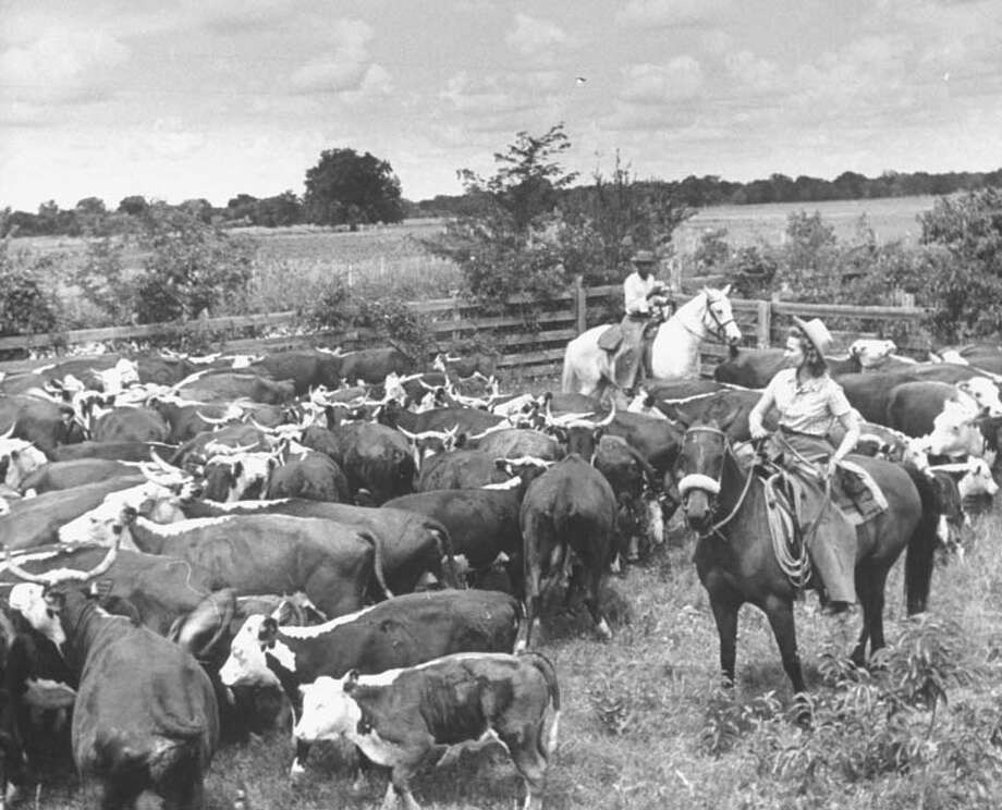 Lady rancher, Frances Collier Williams is pictured with cattle on a ranch.  (Photo by Alfred Eisenstaedt/Pix Inc./Time Life Pictures/Getty Images) Photo: Alfred Eisenstaedt, Time & Life Pictures/Getty Image / Time Life Pictures