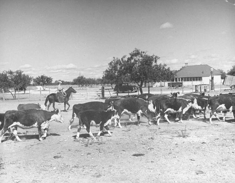 Banker and rancher Ray Willoughby is pictured herding some cattle in a corral in 1946.  (Photo by Frank Scherschel/Time & Life Pictures/Getty Images) Photo: Frank Scherschel., Time & Life Pictures/Getty Image / Time & Life Pictures