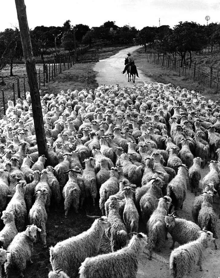 "A flock of angora goats heads for home pastures on the ranch of ""Goat King"" Adolph Stieler near Comfort, Texas.  (Photo by Alfred Eisenstaedt/Time & Life Pictures/Getty Images) Photo: Alfred Eisenstaedt, Time & Life Pictures/Getty Image / Time & Life Pictures/Getty Images"