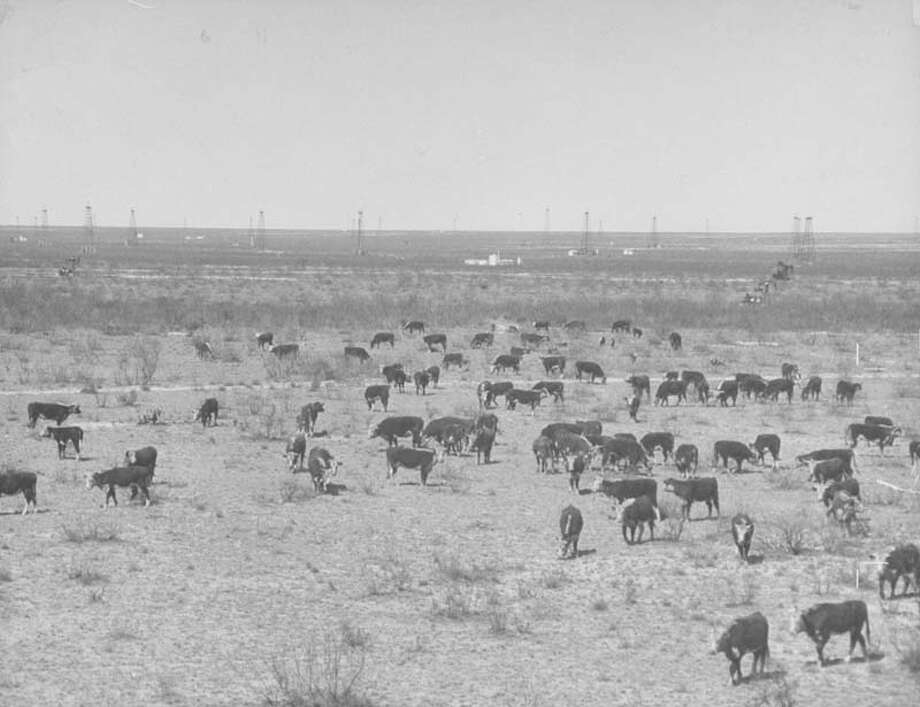 Cattle graze on ranch land.  (Photo by Cornell Capa/Time & Life Pictures/Getty Images) Photo: Cornell Capa, Time Life Pictures/Getty Images / Time & Life Pictures