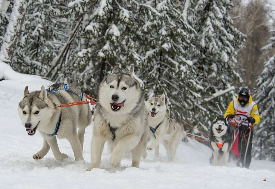 Chicago is colder than Siberia:Temperature at The Christmas Arrivals sled dog races near Novosibirsk, Siberia - 5 degrees. Temperature in Chicago - 16 degrees below zero. Photo: Ilnar Salakhiev, Associated Press