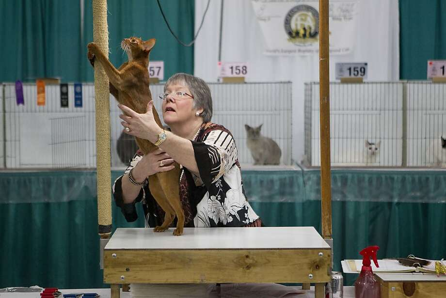 I'm outta here:Escape from the Houston Cat Club's 61st Annual Charity Cat Show seemed out of the question, but then Reddy Or Not noticed the scratching post reaching to the sky. Photo: Johnny Hanson, Houston Chronicle