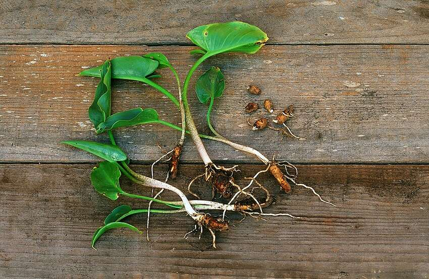 When you dig a white calla lily, to move or get rid of it, look through the soil for tiny yellow rhizome buds that will break off easily. If you miss them, they will grow later.