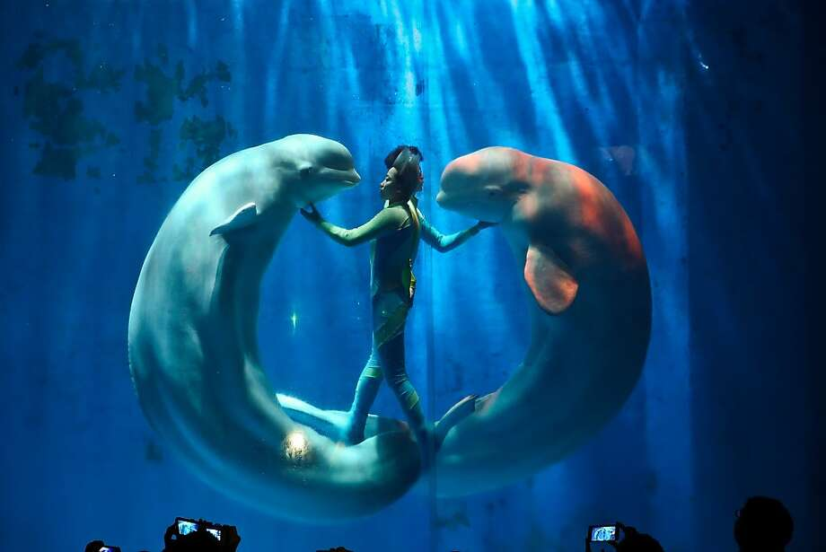 Whale of a doughnut: A trainer performs underwater with a pair of Beluga whales during a show at Harbin Pole Aquarium in Harbin, China. Photo: Lintao Zhang, Getty Images