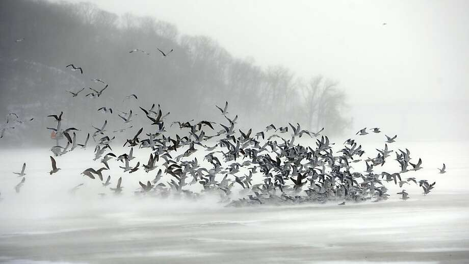 A flock of gulls flies against frigid winds of an arctic cold front over the ice of Irondequoit Bay in Irondequoit, N.Y. on Tuesday Jan. 7, 2014. A wind chill warning was issued making it feel like it was 25 degrees below zero or colder for several hours.  (AP Photo/Democrat & Chronicle, Carlos Ortiz)  MAGS OUT; NO SALES Photo: Carlos Ortiz, Associated Press