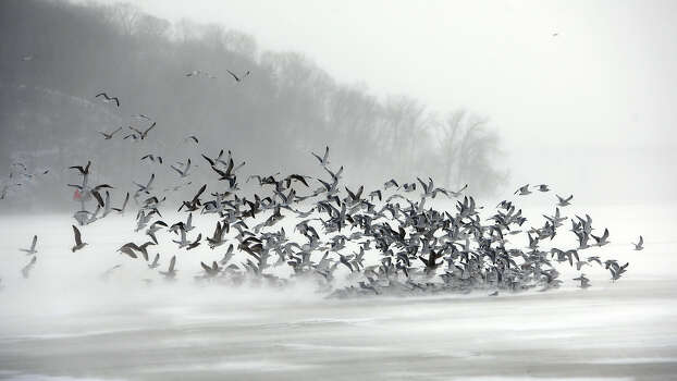 A flock of gulls flies against frigid winds of an arctic cold front over the ice of Irondequoit Bay in Irondequoit, N.Y. on Tuesday Jan. 7, 2014. A wind chill warning was issued making it feel like it was 25 degrees below zero or colder for several hours. Photo: CARLOS ORTIZ, ASSOCIATED PRESS / AP2014