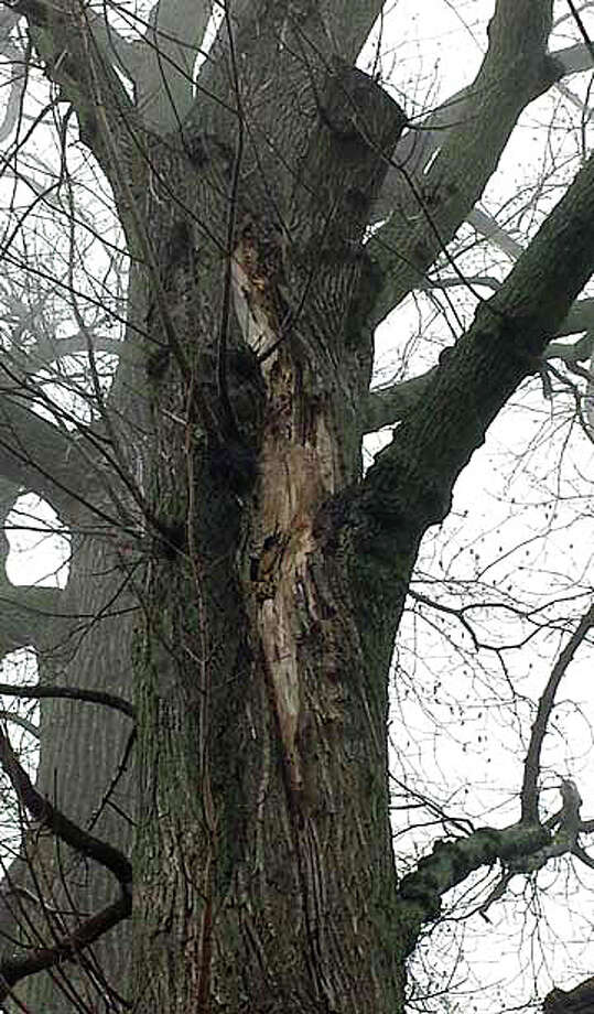 Photos of damaged and diseased trees in Longshore Club Park recommended for removal by town Tree Warden Bruce Lindsay are included in his report on the issue, which will be the topic of a Saturday forum in the park. Photo: Contributed Photo / Westport News contributed