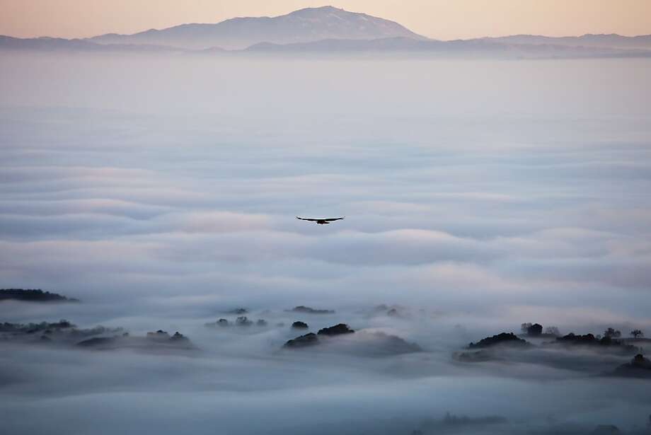 A red-tailed hawk glides over the fog surrounding the Windy Hill Open Space Preserve. Mount Diablo is on the horizon. Photo: Ichiro Asao