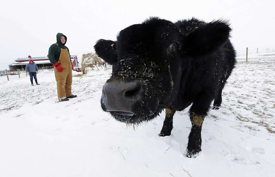 Cold beef: Isabella Graff and her brother, Zadok, check on the family's cattle on their farm in Middletown, Ill. 