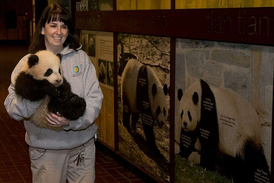 There's your mom, and that's your dad:Biologist Laurie Thompson carries 4-1/2-month-old Bao Bao past photographs of her parents before the cub was weighed and measured at the Smithsonian's National Zoo in Washington. Photo: Charles Dharapak, Associated Press