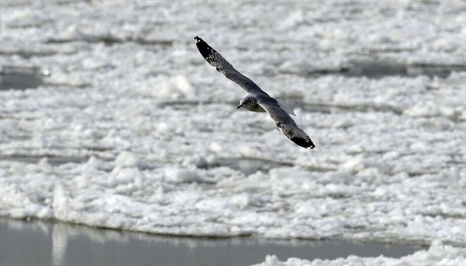 A bird soars over frozen waters of the Washington Channel on Jan. 8, 2014, in Washington. A polar vortex that has swept the east coast brought dangerously cold temperatures. (Olivier Douliery/Abaca Press/MCT) Photo: Olivier Douliery, McClatchy-Tribune News Service