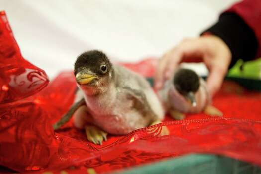 The first two Gentoo penguin chicks of the season on Dec. 12 at Moody Gardens in Galveston.  Photo: Johnny Hanson, Staff / Houston Chronicle
