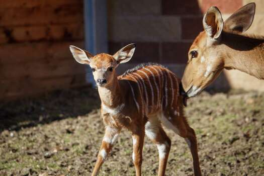 Nutmeg, 2-weeks-old, and her mother Ginger, both Nyala Antelope, stand in their pen at the Houston Zoo, Friday, Jan. 3, 2014, in Houston. ( Michael Paulsen / Houston Chronicle ) Photo: Michael Paulsen, Staff / © 2014 Houston Chronicle