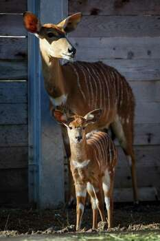 Nutmeg, 2 weeks old, and her mother Ginger, both Nyala antelope, stand in their pen at the Houston Zoo, on Friday, Jan. 3.  Photo: Michael Paulsen, Staff / © 2014 Houston Chronicle
