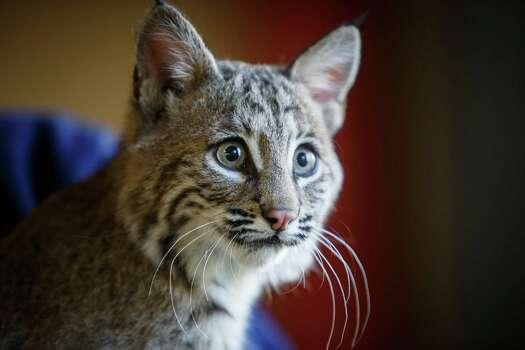 A 17-week-old bobcat named Sierra looks around at the Houston Zoo on Friday, Jan. 3.  Photo: Michael Paulsen, Staff / © 2014 Houston Chronicle