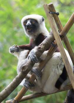 Zenobia, an endangered lemur from the island of Madagascar, walks the fence at the Houston Zoo on Saturday, Jan. 4. Zenobia gave birth to her fourth child Gulliver on December 13. Photo: J. Patric Schneider, Freelance / © 2014 Houston Chronicle