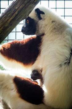 Gulliver peers out from his mother's fur. The newborn, a Coquerel's sifaka, weighed about 92 grams at birth. Photo: Stephanie Adams