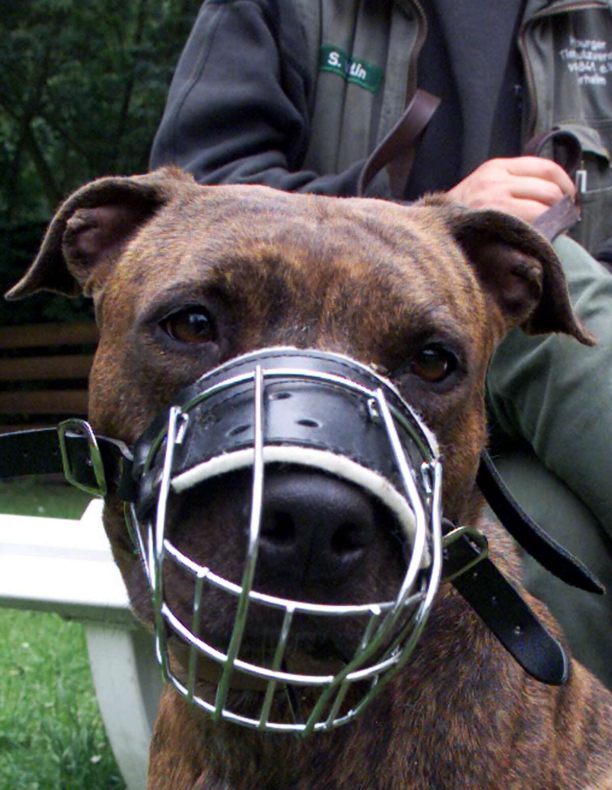 A Pit Bull with muzzle on leash looks at the camera in an animal shelter.
