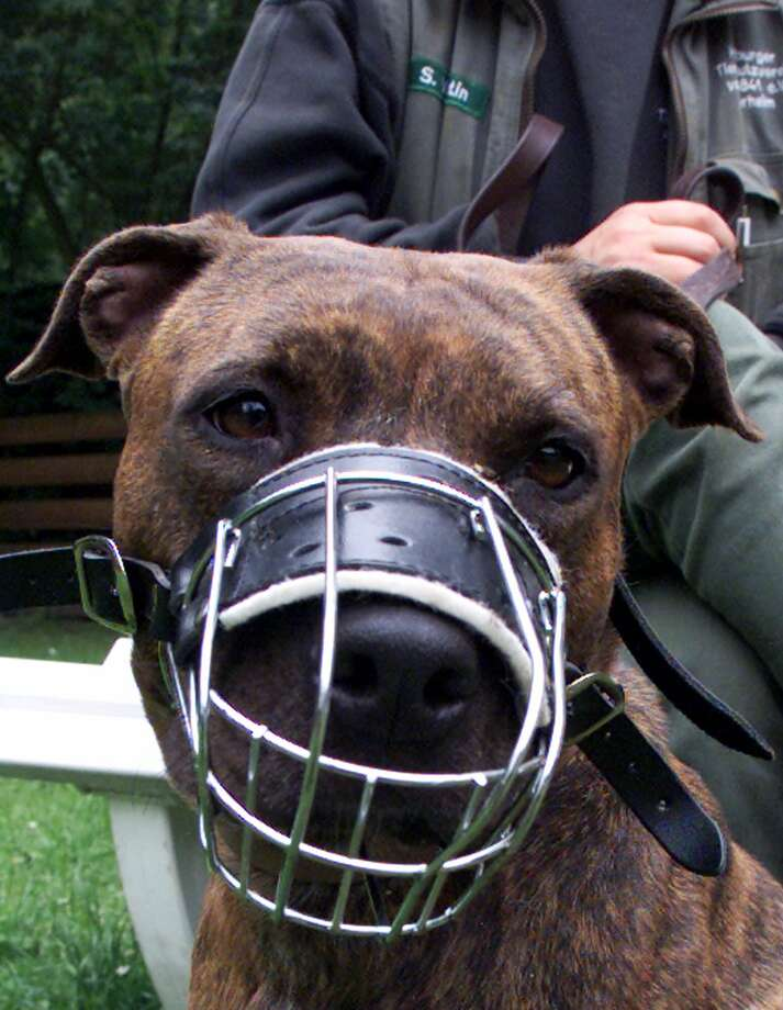 A Pit Bull with muzzle on leash looks at the camera in an animal shelter. Photo: CHRISTOF STACHE, STR / AP