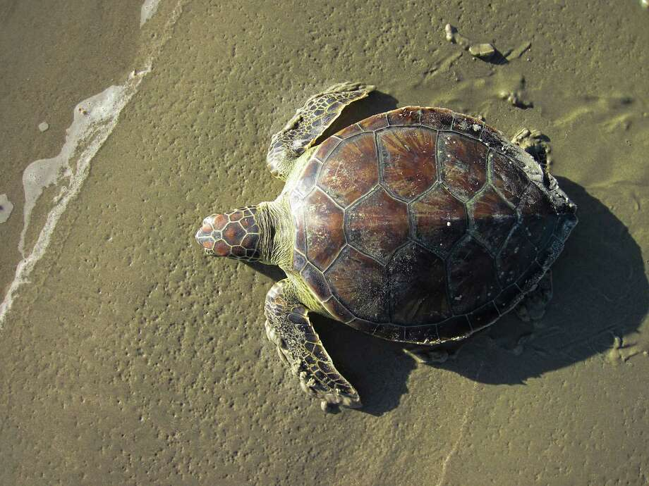 Stunned green sea turtled, like this one rescued Dec. 7, are likely to die or fall prey to predators without intervention. / handout
