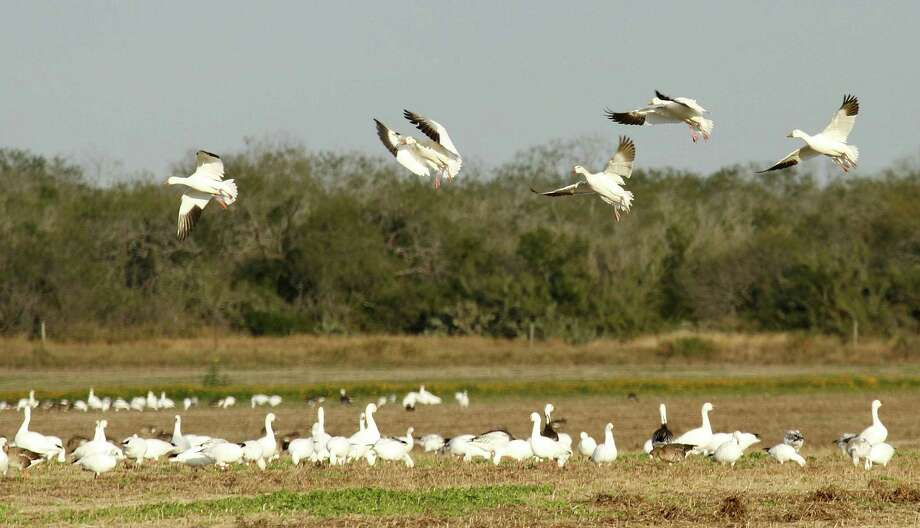 While the mid-continent population of snow geese continues to grow, the number of the big waterfowl wintering along the Texas coast has tumbled over the past 15 years from more than 1 million to fewer than 200,000. Photo: Picasa