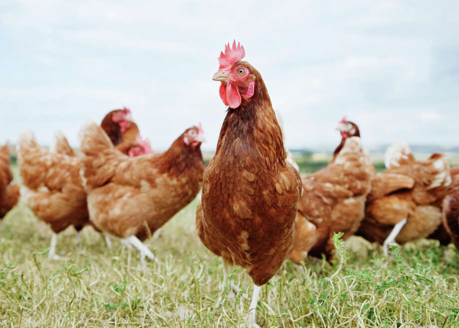 GOING OUT: Free-range chickens. Still trendy, according to 56 percent of surveyed chefs, but dropping. Free-rangers were among the top 20 food trends of 2009; they're now down to No. 61 on the survey's list of more than 200 food items.  Photo: Anthony Lee, Getty Images / OJO Images RF