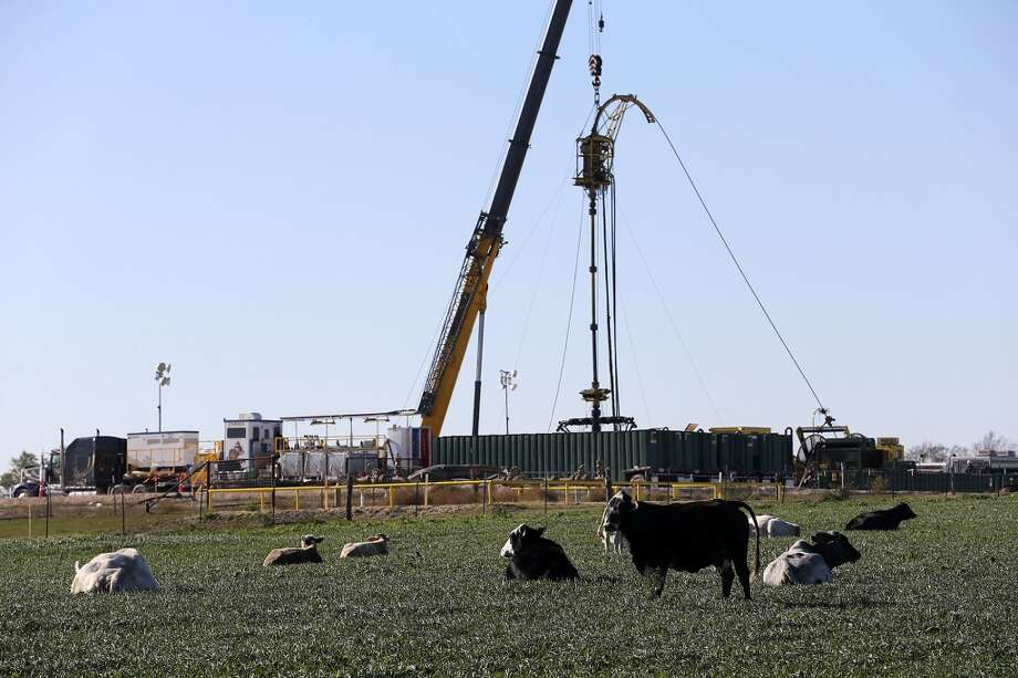 Cattle rest on a field near Helena, Texas in Karnes County.  In the last four years, more than 2,000 drilling permits have been issued for Karnes County. Oil production rose from 318,952 barrels in 2009 to nearly 46 million barrels through the first 10 months of 2013. Photo: Jerry Lara, Associated Press