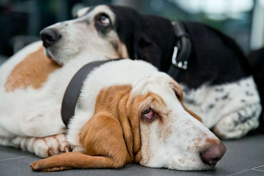Sure, use me as a  pillow. What do I care? (Sigh.): Cheer up, Swan! You'll never win a ribbon at the Cacib 2014 pedigree dog exhibition in Nuremberg, Germany, with that attitude. Swan (foreground) and fellow basset Toya will be joined by about 3,500 other canines at the dog show. Photo: Daniel Karmann, AFP/Getty Images