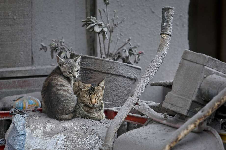 Ashes all fall down:The latest eruption of Mount Sinabung has turned everything in the village of   Sebintun gray, including the kitties. Photo: Ulet Ifansasti, Getty Images