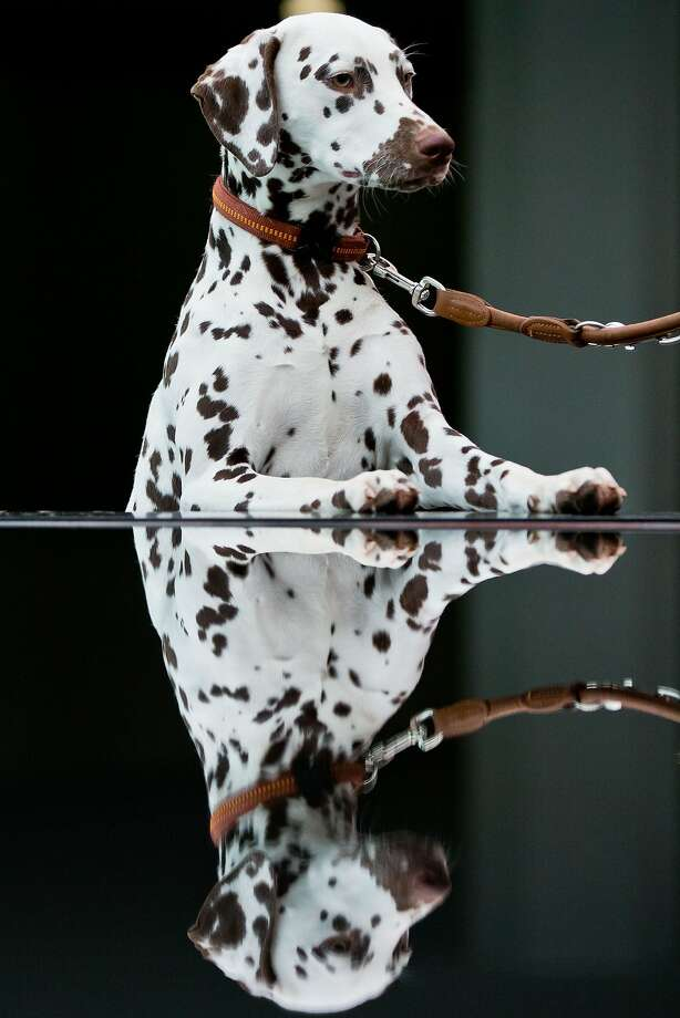 Where's the Windex? This glass table is looking a little spotty: Chimmi the Dalmatian will be competing at the Cacib 2014 pedigree dog show in Nuremberg. Photo: Daniel Karmann, AFP/Getty Images