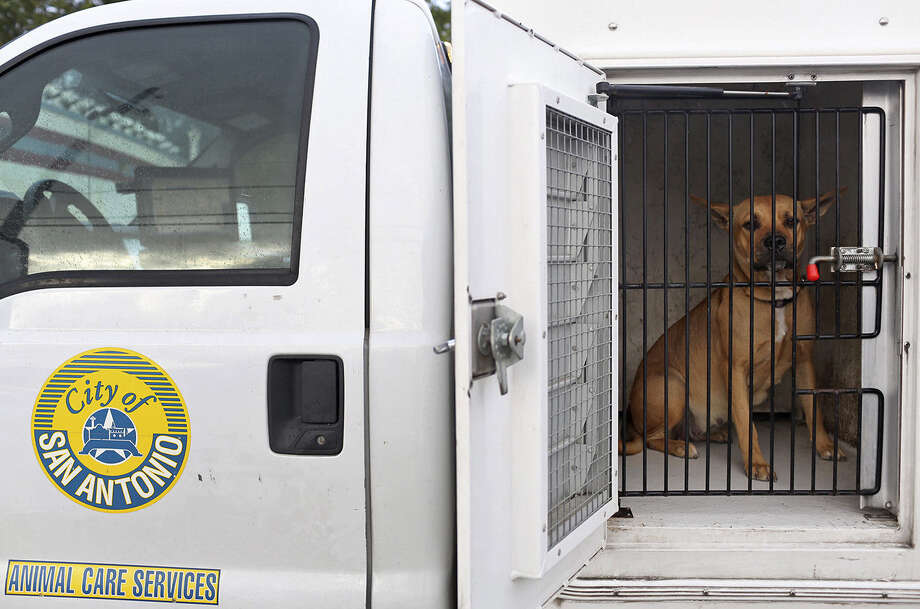 "Lucy, who was pregnant when nabbed on Zarzamora Street, looks out of her cage in the ACS truck. ""She's a stray dog in San Antonio,"" says a vet tech. ""They are all pregnant."" Photo: Lisa Krantz, San Antonio Express-News / San Antonio Express-News"