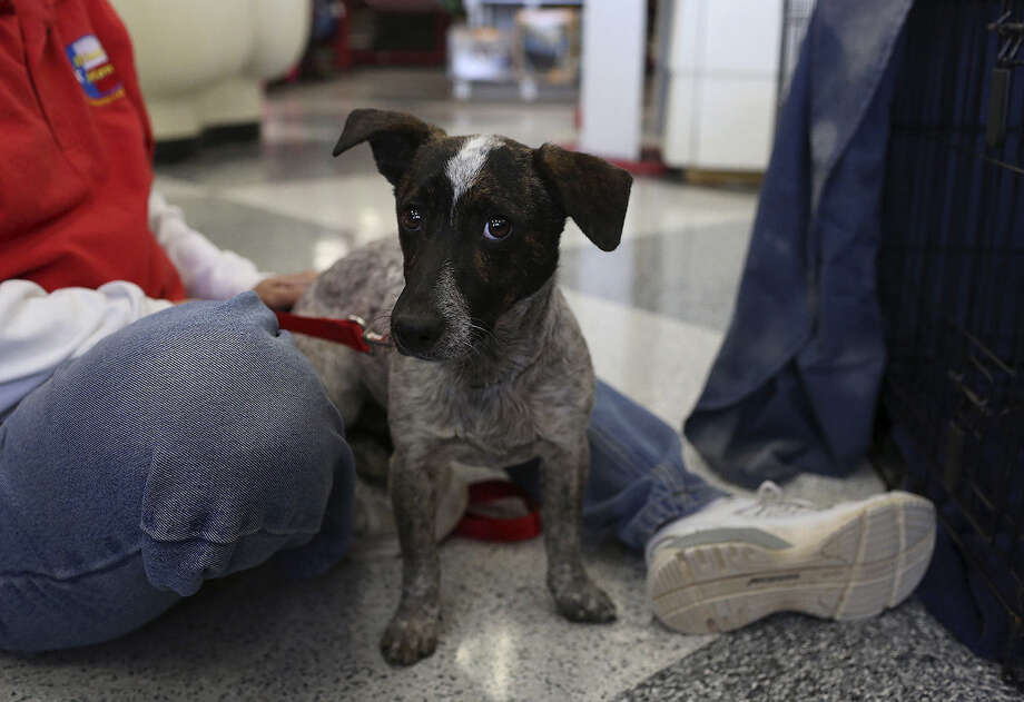 Justin makes his debut at an adoption event at Petco. The terrier mix struggled to adapt after he was rescued from the streets. Photo: Lisa Krantz, San Antonio Express-News / San Antonio Express-News