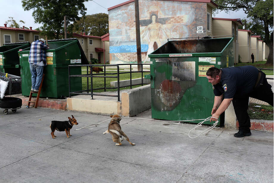 Animal Care Services officer Joe Cortez tries to catch stray dogs at the Cassiano Homes apartment complex in San Antonio on October 30, 2013. Photo: Lisa Krantz, San Antonio Express-News / San Antonio Express-News