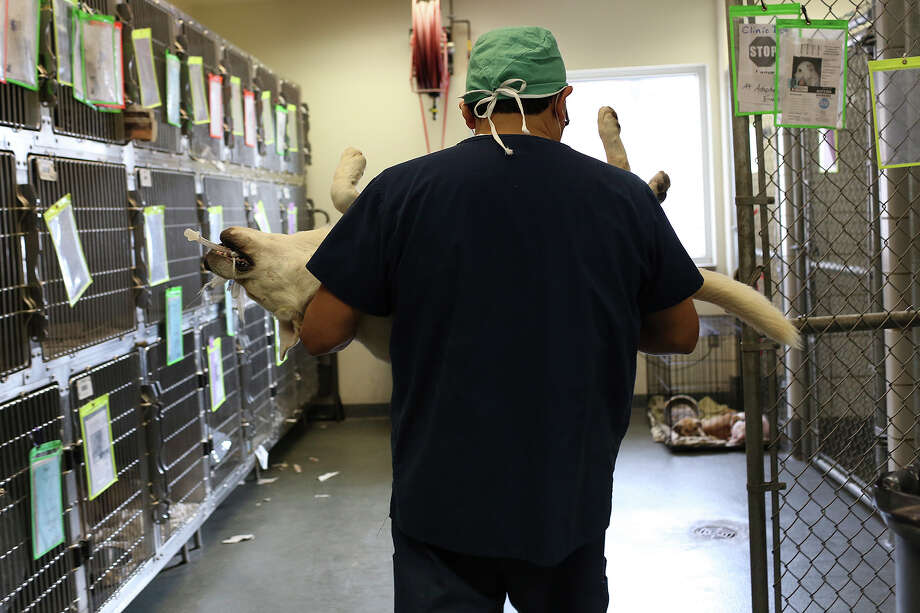 Chuck, now named Duke, is carried back to a pen for recovery after being neutered at Animal Care Services in San Antonio on Nov. 8, 2013. Photo: Lisa Krantz, San Antonio Express-News / San Antonio Express-News