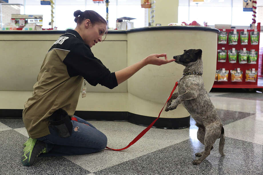 Justin gets a little extra training during his adoption event debut with other dogs from Missy's Haven Canine Rescue at PETCO in San Antonio on Dec. 7, 2013. Photo: Lisa Krantz, San Antonio Express-News / San Antonio Express-News