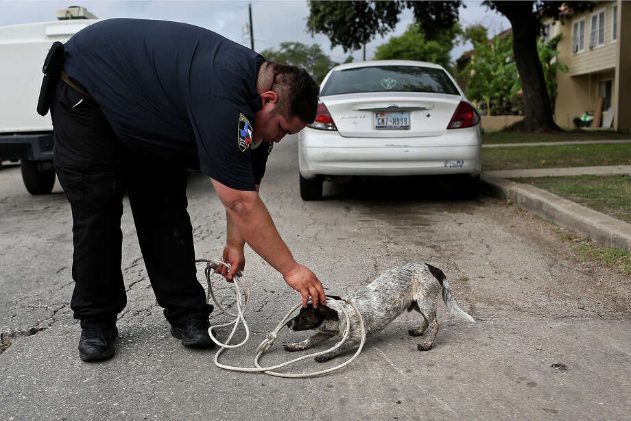Justin approaches Animal Care Services officer Joe Cortez, the dog's friendliness making it easier on the officer doing his work, at Cassiano Homes apartments in San Antonio on October 30, 2013. Photo: Lisa Krantz, San Antonio Express-News / San Antonio Express-News
