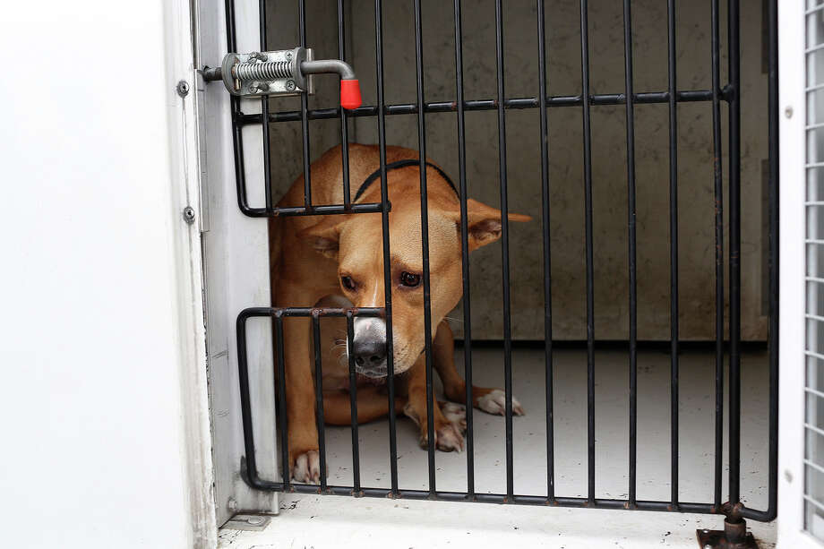 Josie looks out of her pen in the Animal Care Services Truck after being picked up at the Cassiano Homes apartments in San Antonio on October 30, 2013. Photo: Lisa Krantz, San Antonio Express-News / San Antonio Express-News